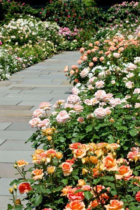 Photo of Rockefeller Rose Garden, New York City, May 2011